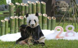 """和歌山大熊猫""""永明""""迎来28岁生日"""