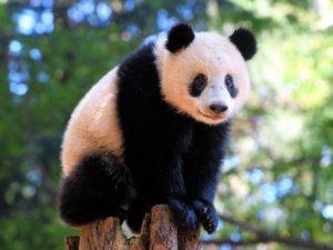 上野动物园猫熊香香诞生3年半经济效益近150亿