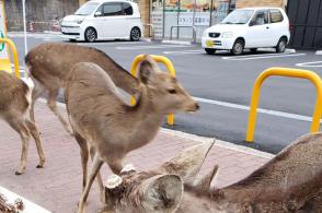 没游客投喂,奈良小鹿进山觅食
