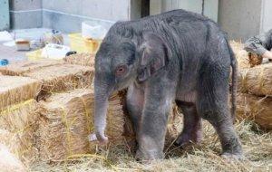 东京上野动物园大象产子1882年开园首见