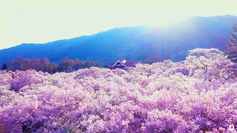 自宅で全国にある桜の名所50箇所を観賞、「オンラインお花見大会」【連載:アキラの着目】
